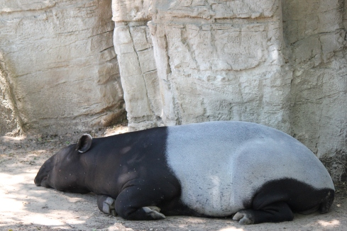 Tapir snoooozin' at the Denver Zoo